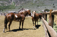 Ranch Horses. Two ranch horses standing in a paddock 0n a mountain range Royalty Free Stock Image