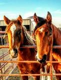 Ranch horses Royalty Free Stock Photo