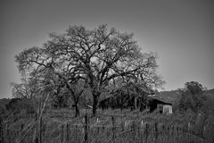 Ranch House Black and White. Obscure Ranch house in sonoma county. Tree partially blocks view of ranch house. Vineyard in the foreground Royalty Free Stock Image