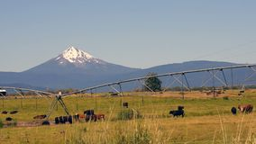 Ranch Livestock Graze and Reproduce with Diamond Peak Mountain in Background stock video footage