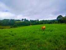 Ranch mit dem Kuhweiden Grüne Rasenfläche oder Ackerland lizenzfreie stockfotos