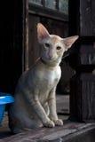 Ranch orientale del gatto Immagine Stock Libera da Diritti