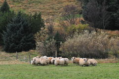Ranch. Sheep farming in Iceland royalty free stock photo