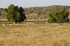 Ranch von maremmana Kühen stockbild