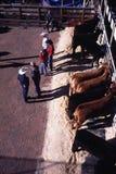 Rancheiros com gado - mostra do estoque vivo Foto de Stock