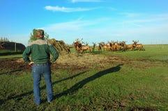 Rancher surveying Elk Herd. Racher surveys herd of elk in pasture Stock Image
