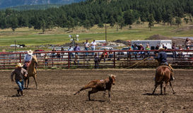 Ranchers competing at a rodeo in colorado Royalty Free Stock Image