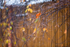 Ranches of bushes and trees with yellow and orange leaves in raindrops. Branches of bushes and trees with yellow and orange leaves in raindrops, in the late Stock Photo