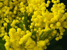 Вranches of mimosa. Fluffy branches of a yellow mimosa close up Stock Image