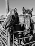 Ranchhästar Arkivfoto