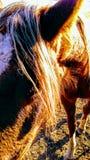 Ranchhästar Fotografering för Bildbyråer