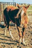 Ranchhästar Royaltyfri Bild