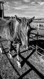 Ranchhästar Arkivfoton