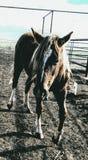 Ranchhästar Royaltyfria Bilder
