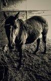 Ranchhästar Royaltyfri Foto