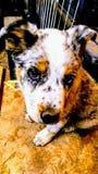 Ranchhundkapplöpning Arkivfoton