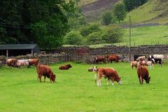Ranching Royalty Free Stock Image