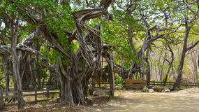 Rancho in Banyan trees forest. In Nicaragua Royalty Free Stock Image