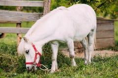 Rancho blanco derecho del campo de Pony Is Eating Grass At Nag In Foto de archivo