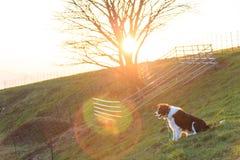 Rancho bonito do rebanho do cão pastor do animal de estimação da noite do cão foto de stock royalty free