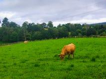 Rancho con el apacentamiento de las vacas Campo o tierras de labrantío de hierba verde imagen de archivo libre de regalías