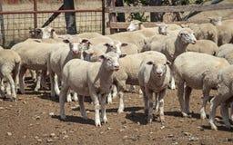 Rancho de las ovejas - Nueva Zelanda Foto de archivo libre de regalías