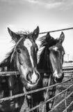 Rancho konie Obrazy Royalty Free