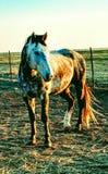 Rancho konie Zdjęcie Stock