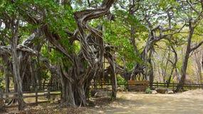 Rancho nella foresta degli alberi di banyan Immagine Stock Libera da Diritti