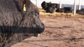 Rancho styl życia Czarny byk liże jego mokrego usta i nos po wody pitnej zdjęcie wideo