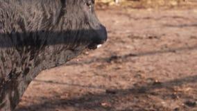Rancho styl życia Dorosły byk liże jego mokrego usta i nos po wody pitnej zdjęcie wideo