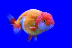 Ranchu或狮子顶头金鱼 免版税库存图片