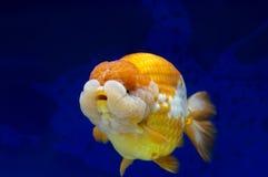 Ranchu狮子在鱼缸的题头金鱼 免版税库存图片