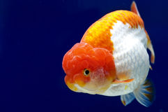 Ranchu狮子在鱼缸的题头金鱼 库存图片