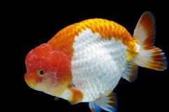 Ranchu狮子在鱼缸的题头金鱼 免版税库存照片