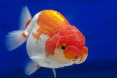 Ranchu狮子在鱼缸的题头金鱼 库存照片