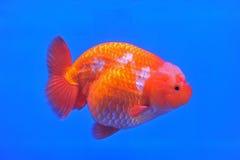 Ranchu狮子在鱼缸的头金鱼 免版税库存照片