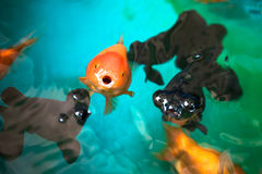 Ranchu and Celestial eye gold fishes breathing on fish tank's surface, focus on the orange Ranchu Royalty Free Stock Photography
