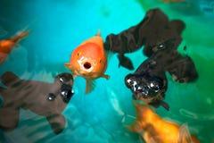 Ranchu i Niebiańskiego oka złociste ryba oddycha na rybiego zbiornika powierzchni, ostrość na pomarańczowym Ranchu Fotografia Royalty Free