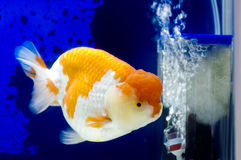 Ranchu Lion Head in Fish tank Stock Image