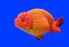 Ranchu or lion head goldfish Stock Photos