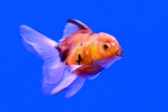 Ranchu or lion head goldfish Royalty Free Stock Image