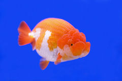 Ranchu or lion head goldfish Stock Images