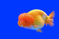 Ranchu or lion head goldfish Stock Photo