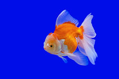 Ranchu or lion head goldfish Royalty Free Stock Image