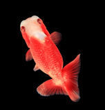 Ranchu Lion Head goldfish Royalty Free Stock Image