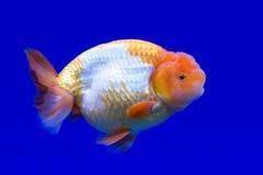 Ranchu ou peixe dourado principal do leão imagem de stock royalty free