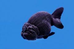 Ranchu ou peixe dourado principal do leão imagens de stock royalty free