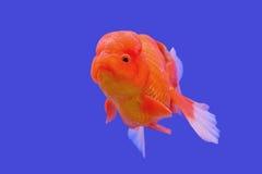 Ranchu ou peixe dourado principal do leão foto de stock royalty free