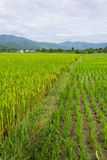 Rand, berg en padieveld in Thailand Stock Foto's